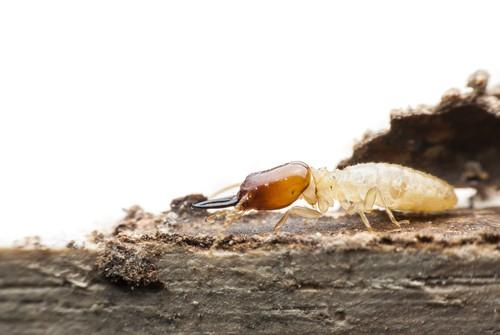 Do Termites Eat Wood Flooring?